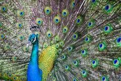 Pavone che mostra la sua coda Fotografia Stock Libera da Diritti