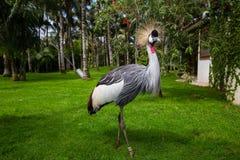 Pavone che si mostra nello zoo in Tenerife, Spagna Immagini Stock Libere da Diritti