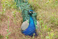 Pavone che si siede sull'erba Fotografie Stock Libere da Diritti
