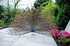Pavone che video le sue piume di coda in un giardino Fotografia Stock