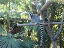 Lemure Royalty Free Stock Image