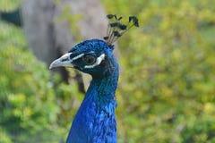 Pavone con colore blu Fotografia Stock Libera da Diritti