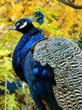 Pavone con i colori di autunno fotografie stock