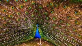 Pavone con la coda spiegata Fotografie Stock
