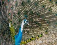 Pavone con le piume colorate Immagini Stock Libere da Diritti