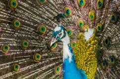 Pavone con le piume colorate Fotografie Stock