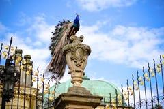Pavone del castello Fotografia Stock