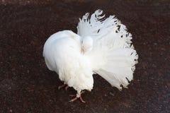 Pavone della colomba Immagine Stock