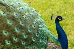 Pavone di Colorfull fotografia stock libera da diritti