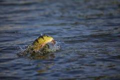 Pavone esotico Bass Fish Fotografia Stock Libera da Diritti