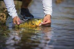Pavone esotico Bass Fish Fotografia Stock