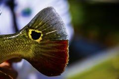 Pavone esotico Bass Tail Immagini Stock Libere da Diritti