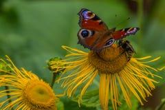 Pavone europeo della farfalla (Aglais io) su un'enula campana del fiore Fotografie Stock