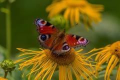Pavone europeo della farfalla (Aglais io) su un'enula campana del fiore Immagine Stock