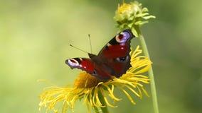 Pavone europeo della farfalla (Aglais io) su un'enula campana del fiore archivi video