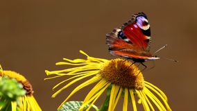 Pavone europeo della farfalla (Aglais io) su un'enula campana del fiore video d archivio
