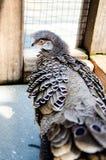 Pavone grigio Fotografie Stock