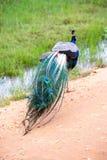 Pavone in habitat naturale Fotografie Stock