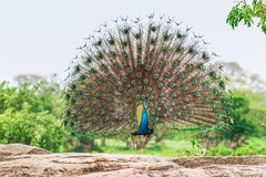 Pavone in habitat naturale Fotografia Stock Libera da Diritti