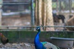 Pavone, il blu, soggiorno in una gabbia, Immagini Stock Libere da Diritti