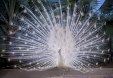 Pavone indiano bianco che mostra la bella coda del fan e che balla sul g immagini stock libere da diritti