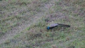 Pavone indiano che mangia nel pascolo - foresta nazionale di Gorumara stock footage