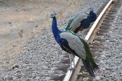 Pavone indiano con i colori iridescenti fotografia stock