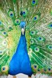 Pavone indiano maschio che mostra le sue piume Immagine Stock