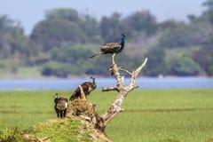 Pavone indiano nella laguna della baia di Arugam, Sri Lanka Immagine Stock