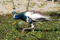 Pavone indiano o pavone blu, cristatus del pavone nello zoo fotografia stock