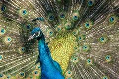 Pavone indiano o pavone blu, cristatus del pavone nello zoo fotografie stock