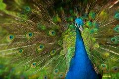 Pavone maschio Fotografia Stock