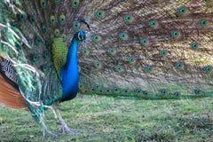 Pavone maschio Fotografie Stock