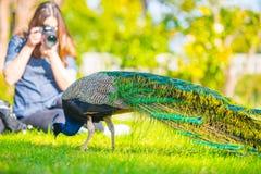 Pavone maschio adulto in un giardino di estate fotografie stock