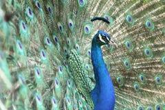 Pavone maschio che mostra le sue piume fotografia stock