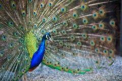 Pavone maschio con le belle piume Fotografie Stock