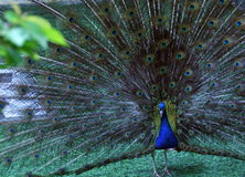 Pavone in natura Fotografia Stock