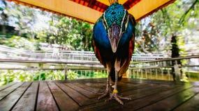 Pavone nel parco del ` s dell'uccello, esaminante macchina fotografica Immagine Stock Libera da Diritti