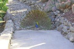 Pavone nel parco di Cactualdea in Gran Canaria Fotografia Stock Libera da Diritti