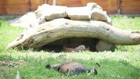 Pavone nello zoo a Smirne - la TURCHIA stock footage