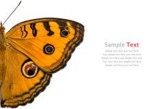 Pavone Pansy Butterfly Fotografia Stock Libera da Diritti