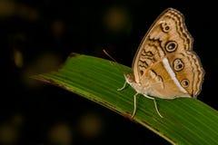 Pavone Pansy Butterfly Fotografia Stock
