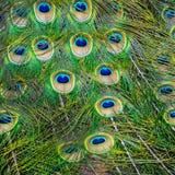 Pavone - primo piano delle piume di coda Fotografia Stock Libera da Diritti