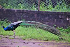 Pavone reale dell'uccello Fotografie Stock Libere da Diritti