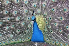 Pavone splendido con le piume di coda smazzate fuori Fotografia Stock