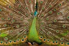 Pavone verde Fotografie Stock Libere da Diritti