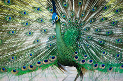 Pavone verde della Tailandia Fotografia Stock Libera da Diritti