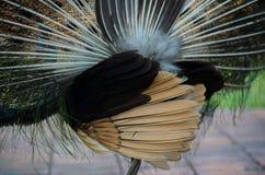 Pavone verde della Tailandia Fotografie Stock