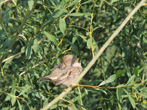 Pavoneggi il passero su un ramo di un salice, femminile Fotografia Stock