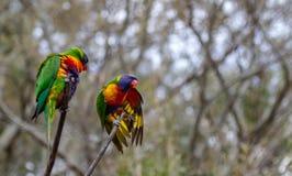 Pavoneggiarsi di due lorikeets dell'arcobaleno Fotografia Stock Libera da Diritti